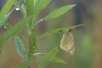 雨の草原で 葉の裏にとまるモンキチョウ