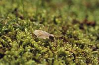 イロハモミジの種子から根が出る