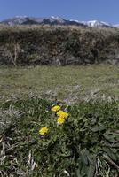 棚田の畔で咲くカンサイタンポポ