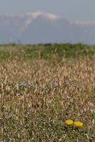 早春の土手 セイヨウタンポポとツクシの群生
