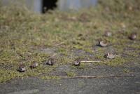 群れでスズメノカタビラをついばむスズメ