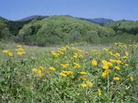 カンサイタンポポの花