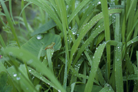 雨の日 雨露とニホンアマガエルの幼体