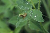 雨の日 雨粒とニホンアマガエル