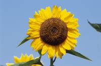 ヒマワリ 中心近くまで筒状花が咲く