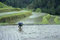 田んぼの仕事 雨中での田植え風景