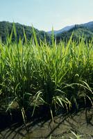 夏の陽を浴びてすくすく育つ稲 夏