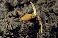 籾の成長 種まきから3日目の籾 春