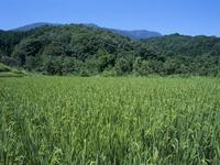 夏の風景 田んぼと雑木林