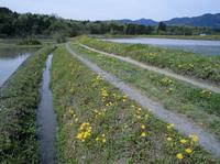 カンサイタンポポの咲く道 春