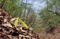 春のコナラ林で 葉が大きくなったコナラの幼木