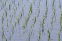 水田で 風に揺れる苗