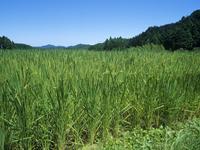 夏の水田風景 穂が垂れはじめる