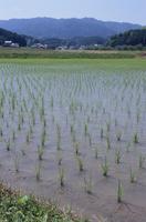 水田まわりで 稲の成長 8-1