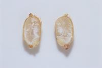 籾の断面 発芽直前の籾の断面
