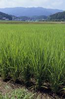 水田まわりで 稲の生長 8-3