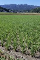 水田まわりで 稲の生長 8-2