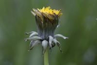 セイヨウタンポポ 雨の日は花を閉じている