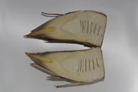 モウソウチクのタケノコ 断面