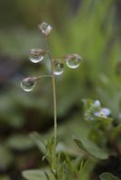 雨上がりの野道で 雨粒のついたスズメノカタビラ