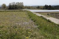 春の水田風景 畔にカンサイタンポポが咲き、水が引かれはじめる