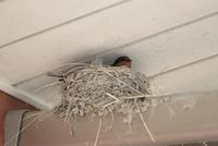 ツバメ営巣(ひさしを支える支柱上で抱卵中)