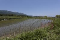 初夏の水田風景(比良山の麓に広がる棚田)