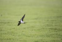 ツバメ飛翔(小雨の日、昆虫が低く飛ぶので低空飛行になる)