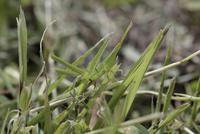 ショウリョウバッタ幼虫(野道の草と同化する)