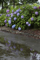 梅雨(雨の日、アジサイが水たまりに映り込む)