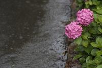 雨の日(梅雨、アジサイに降る雨)
