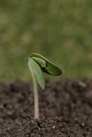ダイズ(枝豆)発芽(出根から6日目、双葉の間から本葉が出はじめる)