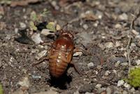 アブラゼミの幼虫(羽化の日、日暮れとともに穴からはい出してくる)