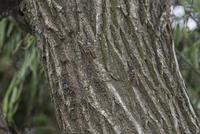 アブラゼミ(ヤナギの木に集まる)