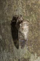 ニイニイゼミの羽化連続26-25(時間が経つにつれ体色が濃くなる。ここのまま朝を待つ)