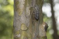 ツクツクボウシのオス(カリンの木で腹を持ち上げながら鳴く)
