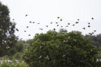 スズメの群飛(繁殖を終え、群れで行動するようになる)