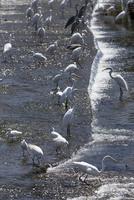 サギの群れ(琵琶湖に流入する姉川河口で遡上するコアユを待ち伏せ捕食する)