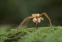 卵嚢を持ち運びながら保護をするイオウイロハシリグモ