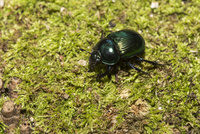 体色が金緑色タイプのオオセンチコガネが林床を歩く