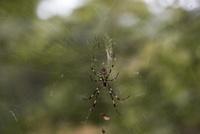 ジョロウグモのペア(メスはオスの4〜5倍の大きさ)