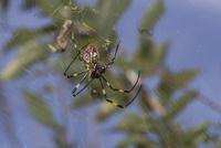 ジョロウグモの交尾(オスの交接器官は口先の触肢、メスは腹部に生殖口がある)