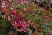 色とりどりに紅葉したイロハモミジが雨に濡れる 32053006238  写真素材・ストックフォト・画像・イラスト素材 アマナイメージズ
