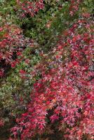 色とりどりに紅葉したイロハモミジが雨に濡れる 32053006239  写真素材・ストックフォト・画像・イラスト素材 アマナイメージズ