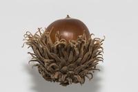 クヌギのドングリ、殻斗付き白バック 32053006266| 写真素材・ストックフォト・画像・イラスト素材|アマナイメージズ