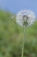 冠毛の誕生(ケンサキタンポポ) 9 風が吹くと種が飛び出すよ
