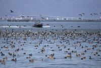 琵琶湖でプレジャーボートの接近に驚き飛び立つ水鳥の群れ