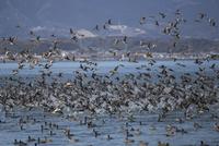 琵琶湖から一斉に飛び立つ水鳥の群れ(ヒドリガモやオオバン)