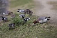 賀茂川の土手で草を食べるヒドリガモの群れ