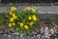 アスファルトのすき間で咲くセイヨウタンポポとスミレにサクラの花びらが落ちる